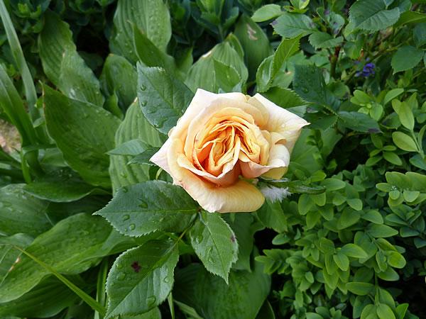 3Juni2015-Rose-orange-nah-etc 2655
