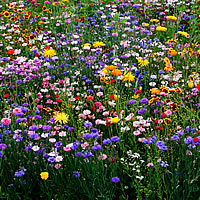 Blumen-Seedbombs Schmetterlingswiese