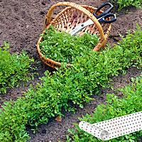 Salat-Kresse Olympus